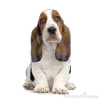 Basset Hound  Puppy: