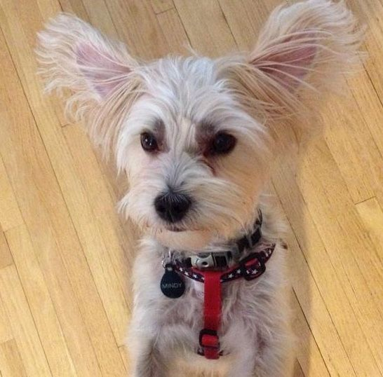 Morkie Rescue Dog White Morkie Morkie Puppies Morkie Puppies For Sale
