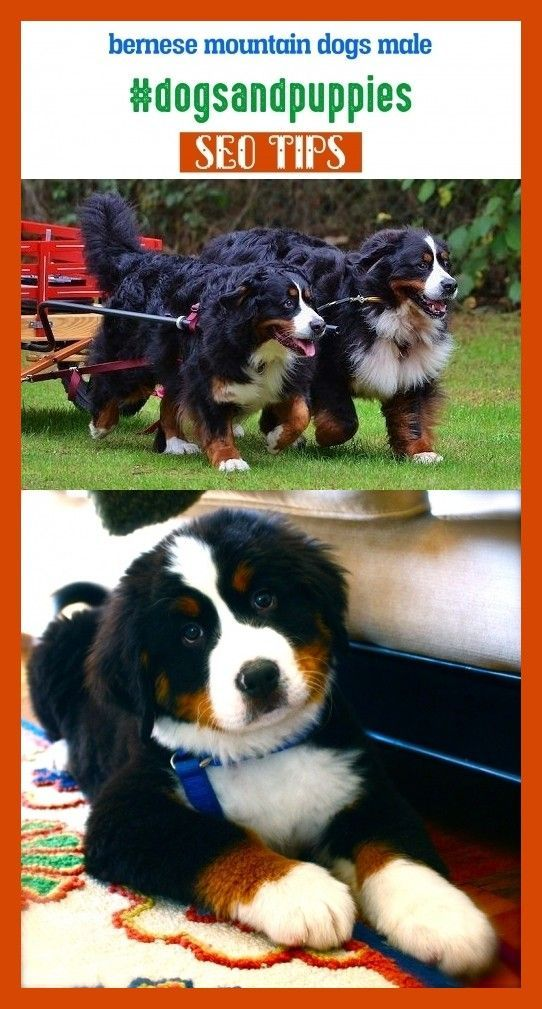 Bernese Mountain Dogs Male Dogsandpuppies Seotips Seo Animals Bernese Mountain Dogs P In 2020 Bernese Mountain Dog Poodle Bernese Mountain Dog Puppy Mountain Dogs