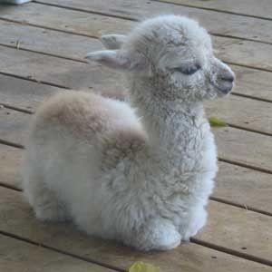 Baby llama! wat zou ik het graag even willen knuffelen.