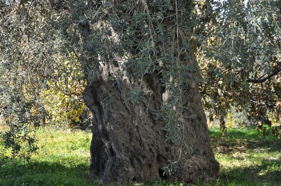 The Sisters Olive Trees of Noah. This is one of the Sisters estimated to be over 6000 years making them the oldest olive trees on the planet.  http://www.facebook.com/Sistersolive