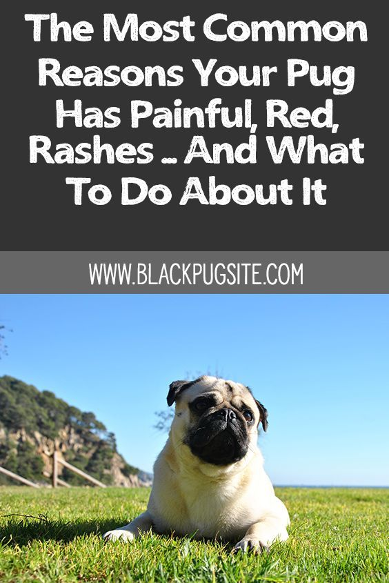 Pin On Pug Care Tips