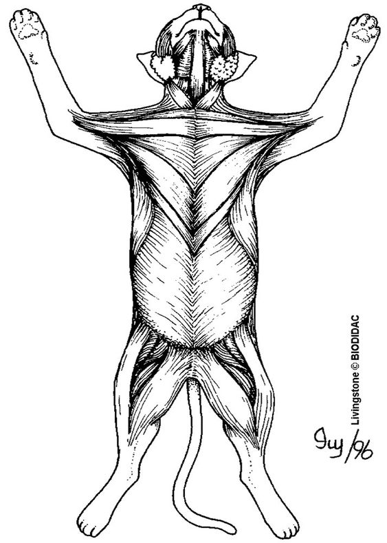 cat muscles  ventral side