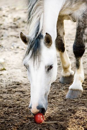 apples horses and treats on pinterest