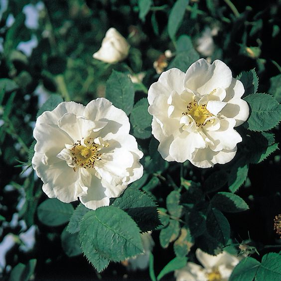 Alba Rose/Old Rose, 'Alba Semi-Plena'.   Clusters of large, flat, almost single, milk-white flowers with golden stamens. VERY FRAGRANT.