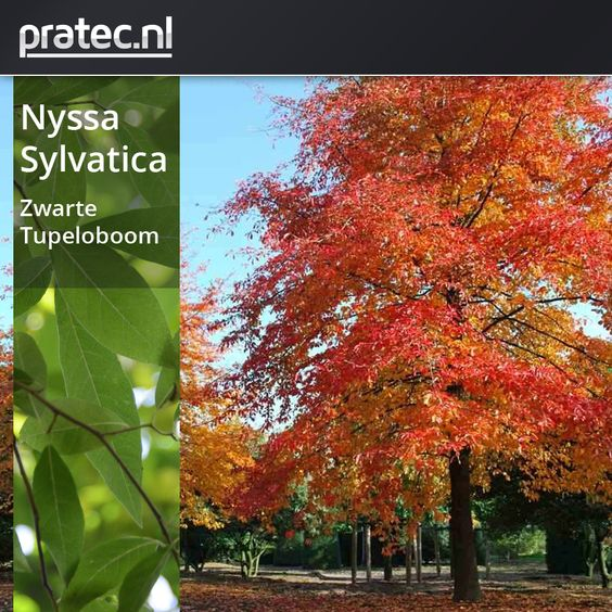 Nyssa sylvatica -  Zwarte Tupeloboom http://pratec.nl/shop/bomen/zwarte-tupeloboom/  Het zijn de herfstkleuren waardoor de boom zich zo geliefd heeft gemaakt. In het najaar tooit de boom zich uitzonderlijk mooi in donkerrode, oranje en soms gele tinten. Het blad is ovaal-eivormig, 5-12cm groot, de top is spits, de bladvoet is wigvormig en de bladrand is gaaf.  De bovenzijden is diep glanzend groen, de onderzijde is blauwgroen. Nyssa sylvatica, of tupeloboom, wordt als boom ongeveer 12-15…
