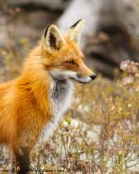 red foxes - `