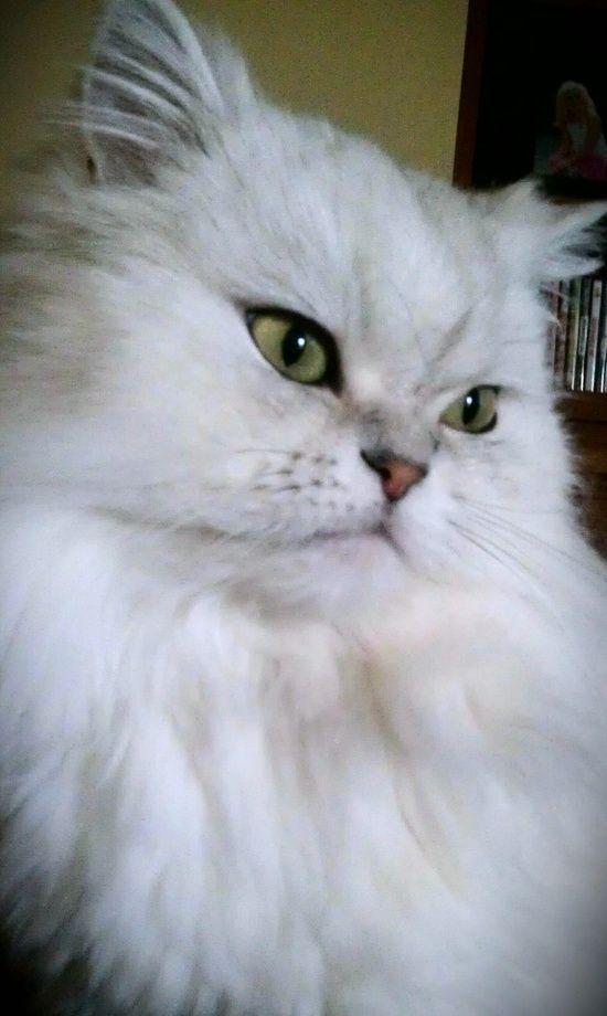 Beautiful Persian Cat Persainkittens White Cat Cat Persian Cat