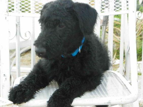 Black Airedale Terrier Puppies | Animals | Pinterest ...
