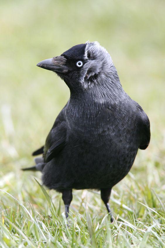 Die Dohle, geselliger Rabenvogel mit Köpfchen, ist NABU Vogel des Jahres 2012.