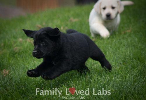 English Black Lab Puppy Family Loved Labs Lab Puppies English Lab Puppies Black Lab Puppies