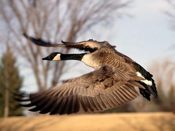 flying goose wallpaper pictures for desktop background full free