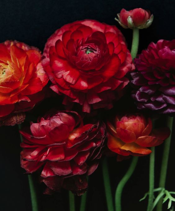 Red ranunculus. Photo: Alice Gao.: Floral On Dark, Flowers Plants, Garden Flowers, Beautiful Flowers, Cut Florals, Moody Botanical, Florals Dec, Floral Inspiration