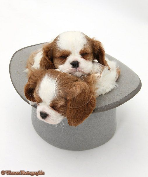 Dogs: Cavalier King Charles Spaniel pups in a top hat photo