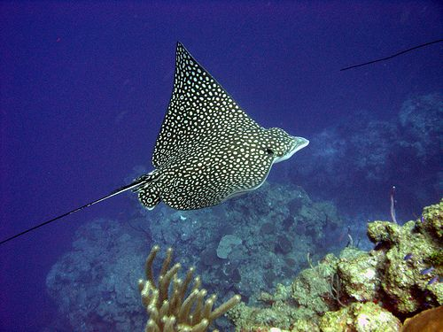 Spotted-eagle-rays