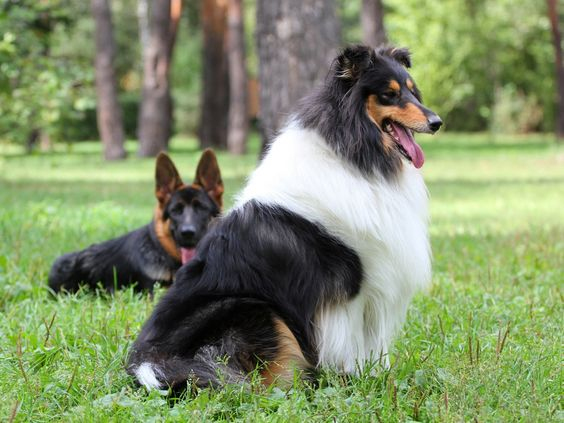 Hunde Collie Tiere