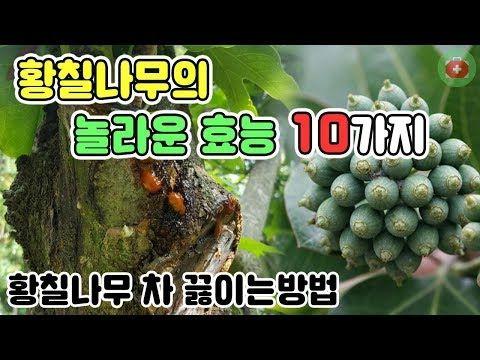 당신이 몰랐던 황칠나무의 놀라운 효능 10가지 황칠나무 차 끓이는방법 Share 건강정보 Youtube 약초 건강한 건강관리
