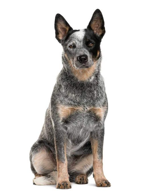 Australian Cattle Dog Australian Cattle Dog Aussie Cattle Dog