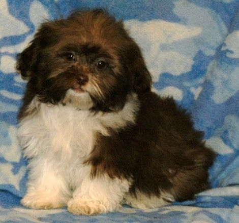 adoption shih poo and lollipops on pinterest