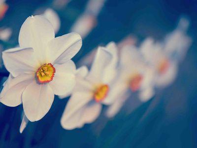 Daffodils, Photos and Prints at Art.com