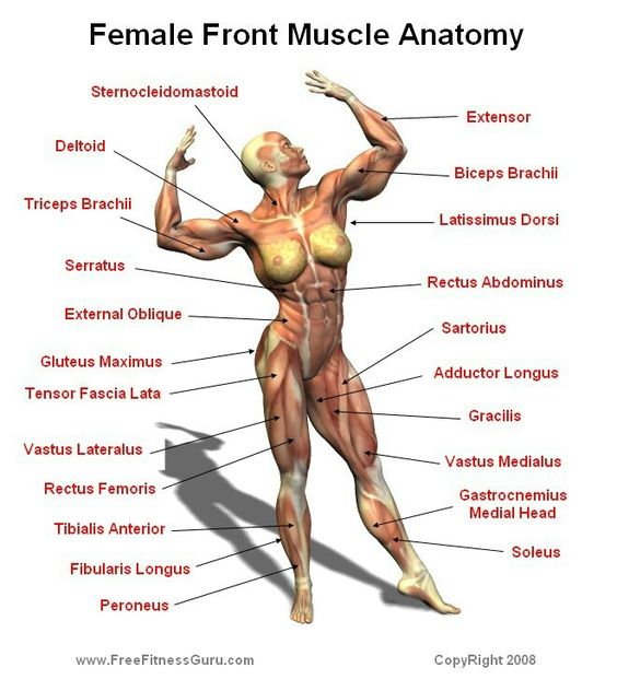 Female front muscle anatomy