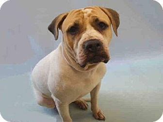 New York, NY - Mastiff Mix. Meet Bentley, a dog for adoption. http://www.adoptapet.com/pet/16122900-new-york-new-york-mastiff-mix