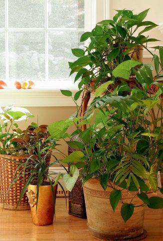 Plantas que se desenvolvem bem dentro de casa e áreas sombreadas. Aprenda a cuidar delas