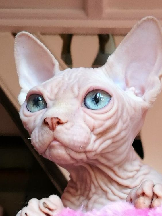 Be Bald And Free Day 7 Hilarious Hairless Cats Of Instagram Cattime Hairless Cat Cute Cats Baby Cats