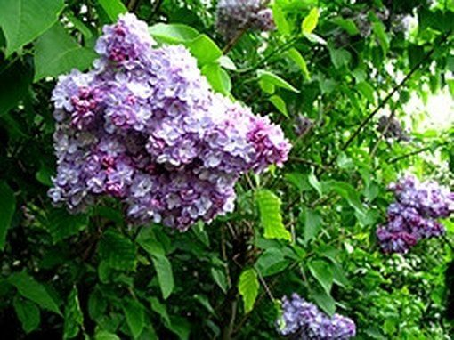 How To Space A Privacy Fence Using Arborvitae Pyramidalis Hunker In 2020 Lilac Tree Lilac Bushes Lilac Gardening