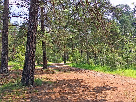 Сосновый лес за территорией спортивного комплекса. Фото: Evgenia Shveda