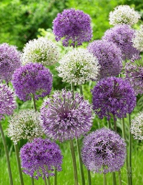 White And Various Shades Of Purple Ball Shaped Blooms Will Sit Atop Tall Stems Planting Allium Bulbs Is Fairly Si Flowers Perennials Bulb Flowers Onion Flower