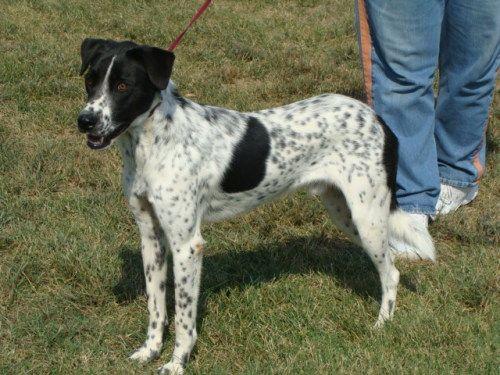 Cattle Dog Terrier Mix australian cattle dog pointer spaniel mix breed ...