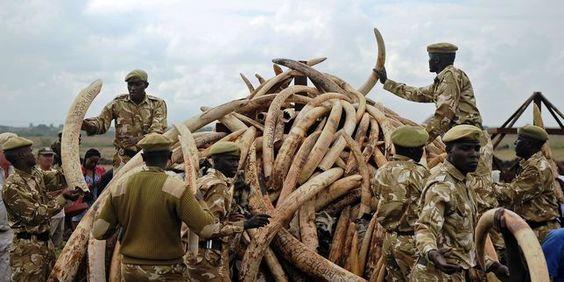 «Le regain de braconnage de l'ivoire qui a commencé approximativement il y a dix ans (…) est le principal facteur à l'origine de ce déclin», selon l'UICN.