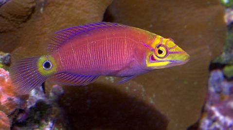 Buy Mystery Wrasse Online Saltwater Aquarium Fish And Coral Vivid Aquariums Wrasse Fish Fish For Sale