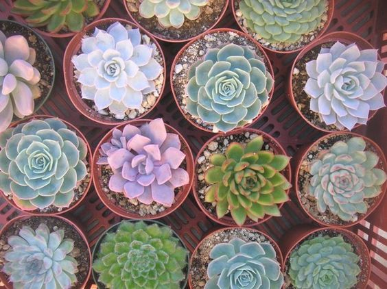 TOP QUALITY,10 Large Rosette Succulents, 4 Inch Pots, Perfect For Weddings, Centerpieces, Bouquets, Dish Gardens. $45.00, via Etsy.