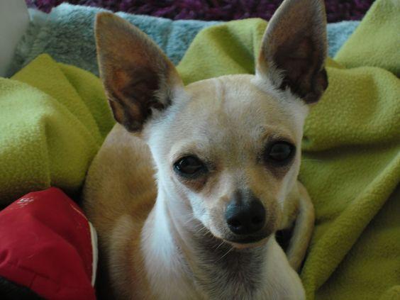 """o Chihuahua é considerado o menor cão de raça do mundo e seu nome vem da maior província da República Mexicana (Chihuahua). Alguns dizem que este cão viveu de forma selvagem, na época da civilização """"Tolteca"""", onde foi capturado e domesticado por seus habitantes. Ilustrações de um cão miniatura (toy), chamado """"Techichi"""", que vivia em Tula, foram usadas como decoração em suas arquiteturas. Estas pequenas estatuetas são muito similares aos Chihuahuas de hoje."""
