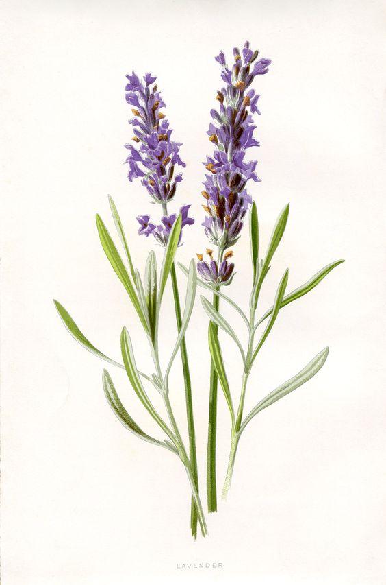 Lavender Plant Drawing 50 Favorite Free Vinta...
