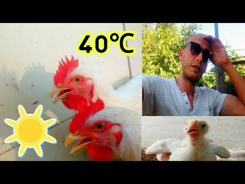 تربية الدجاج البياض هذا ما قمت به اليوم لدجاج اللحم موجة الحر Youtube The Creator