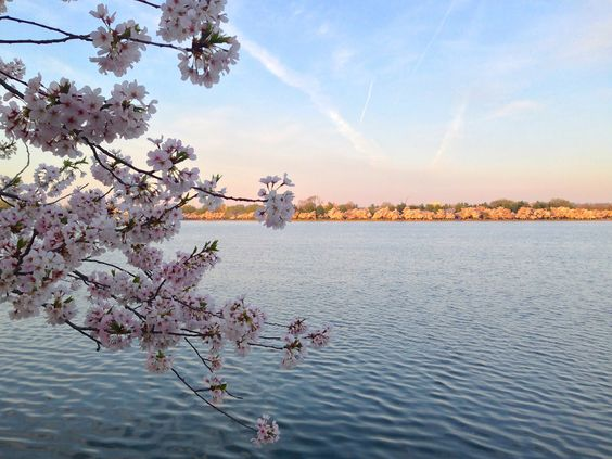sunrise over the Tidal Basin in Washington, DC at peak cherry blossom season! (Betsy Transatlantically: ABCs of Spring in DC)