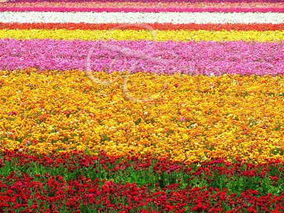 A must see in Carlsbad, CA., Beautiful Flower Field that goes on forever!