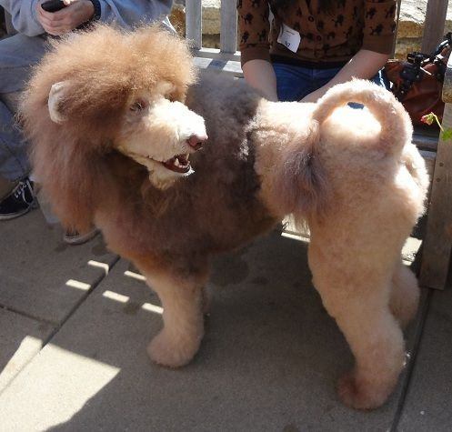terrier haircuts the gallery for gt goldendoodle teddy cut 1103