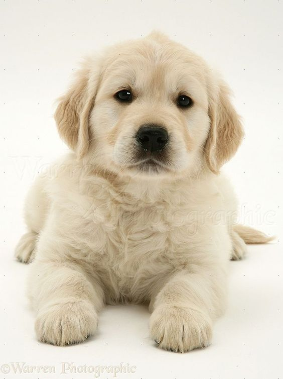 White Golden Retriever Puppies .