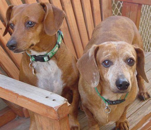 Adopt Rocky And Roy On Dachshund Rescue Dachshund Dog Dachshund