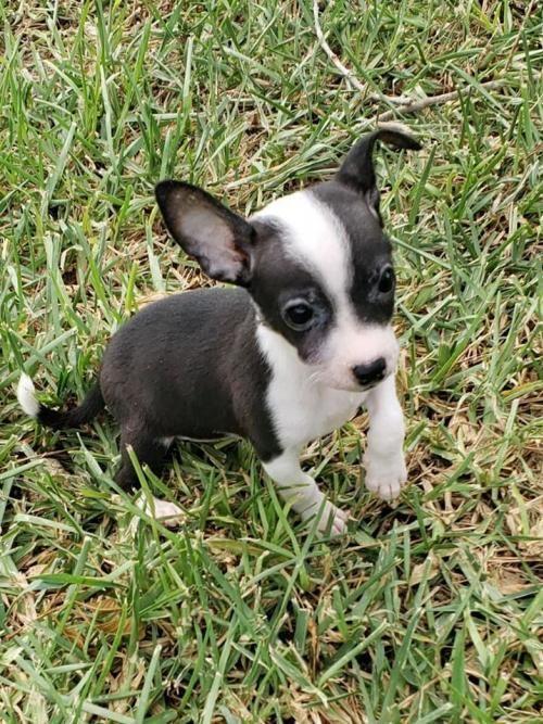 Adopt Tippy On Pet Adoption Pets Chihuahua