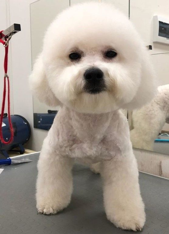 20 Best Bichon Frise Haircuts For Your Puppy The Paws Bichon Frise Bichon Frise Dogs Bichon