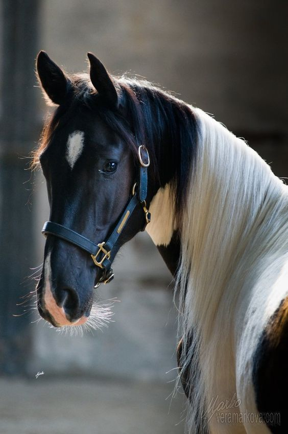 Horses - Black and white Tobiano stallion - from Goodshapes Barock Pintos: