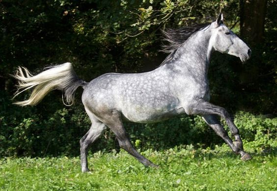 """Dappled Grey. Grey is an unnatural colour in horses that is a result of artificially selected breeding. While all grey horses will eventually turn white as they age, white grey horses have black skin while """"true"""" white horses have pink skin."""