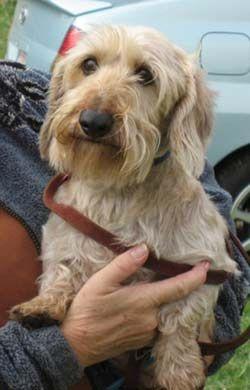Miniature wire haired Dachshund Puppies | Desi is a miniature wirehaired Dachshund- really! He is 11 years old ...