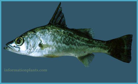 برمون صغير الحراشف Forktail Lates قسم انواع الاسماك سمك انواع الاسماك مع الصور الموقع الزراعي ومنوعات اخرى Fish Animals Whale