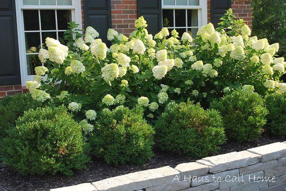 Limelight Hydrangeas & boxwood - under the front windows